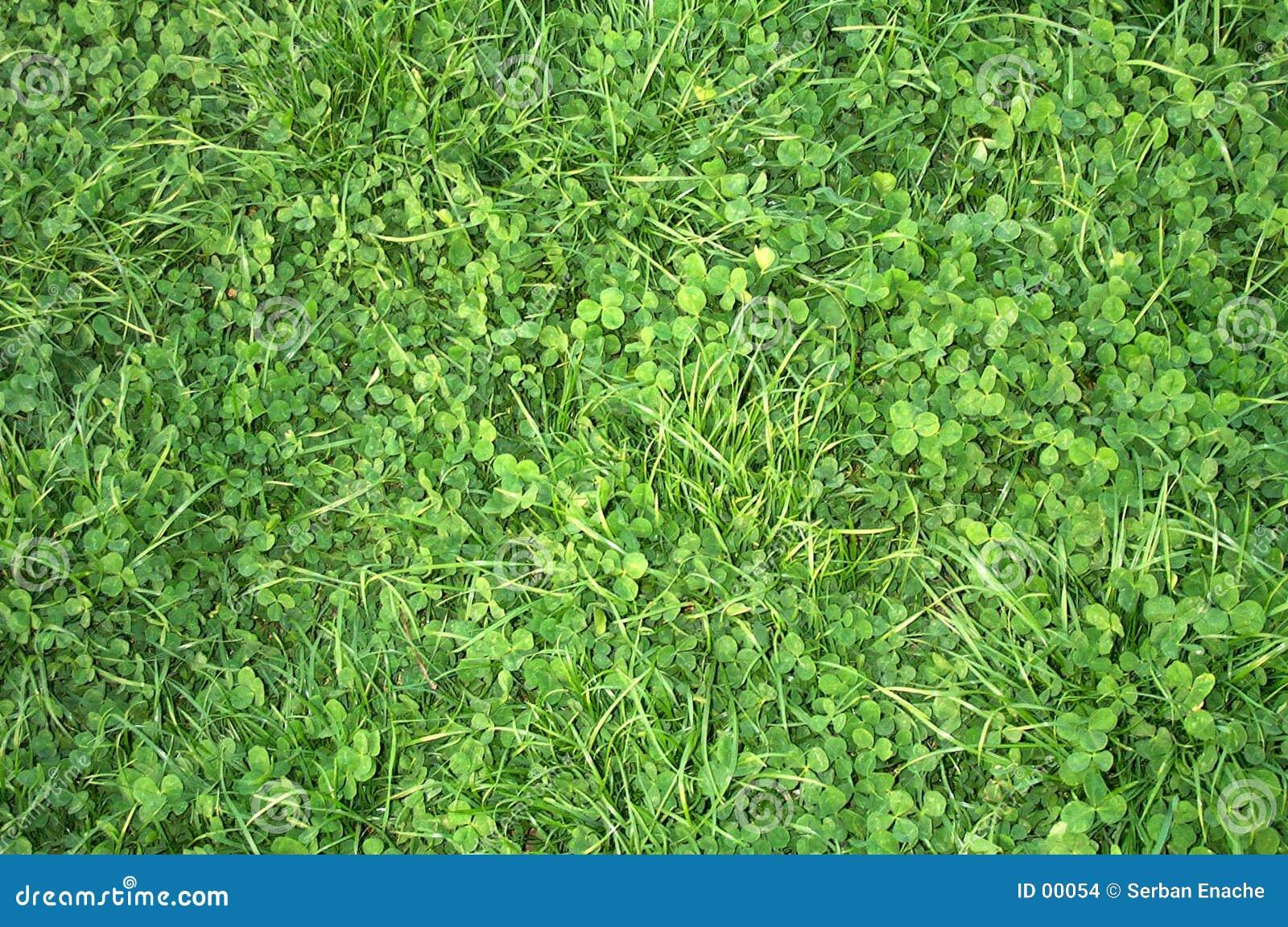 Växt av släkten Trifoliumtextur