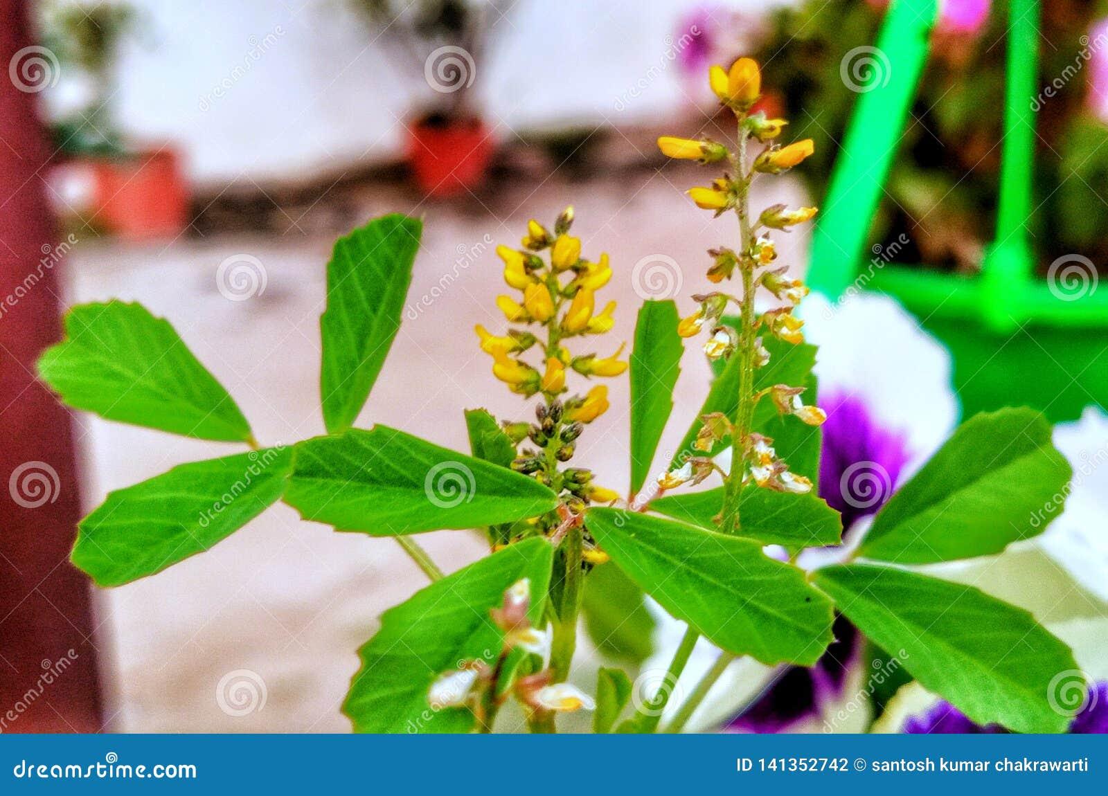 Växt för gul blomma för Medick grön