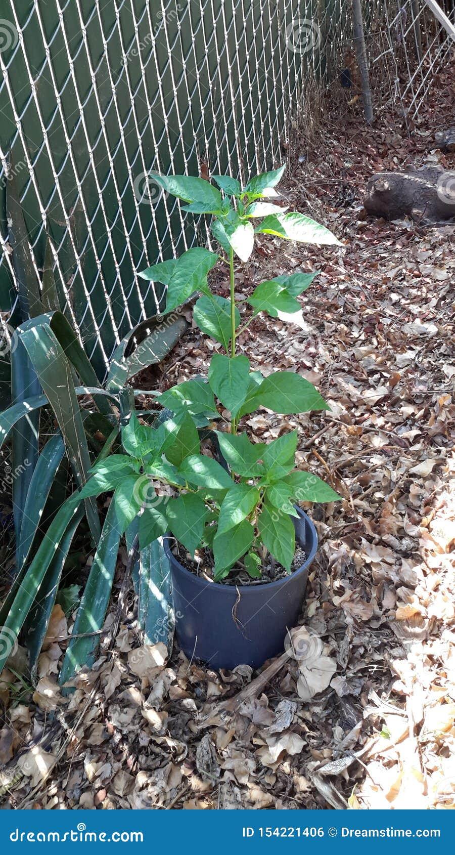 Växt för tabascopeppar