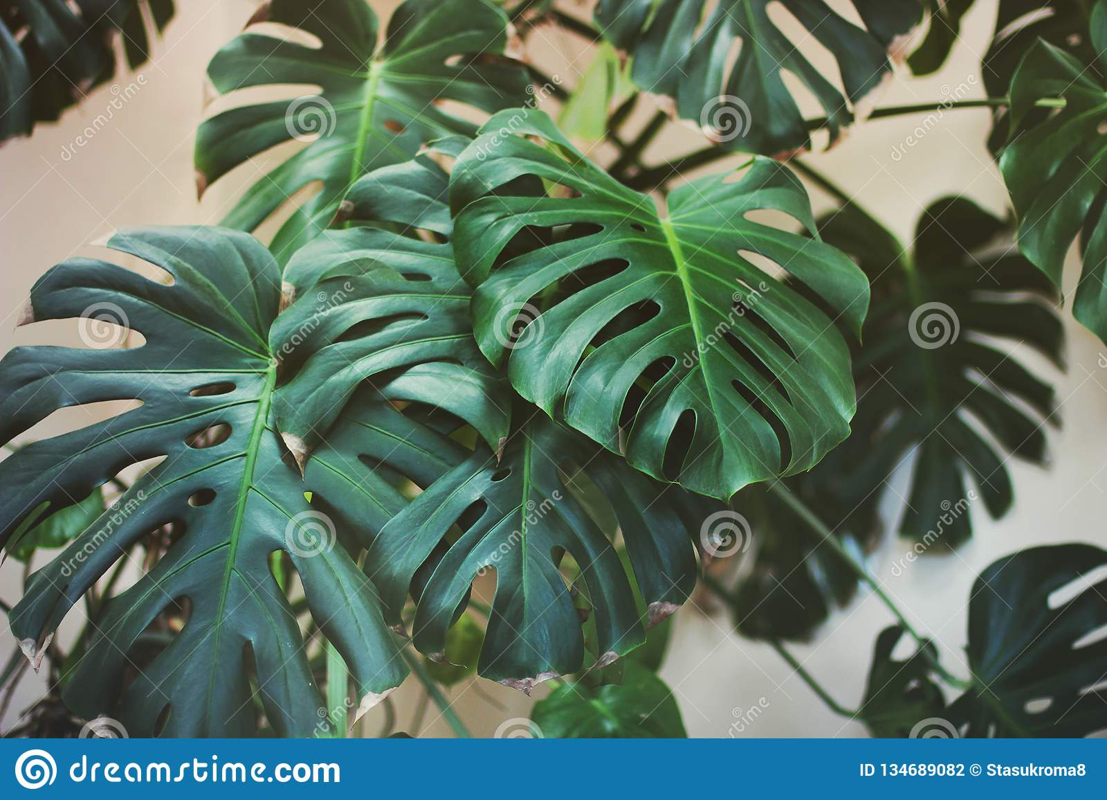 Växt i huset stora leaves