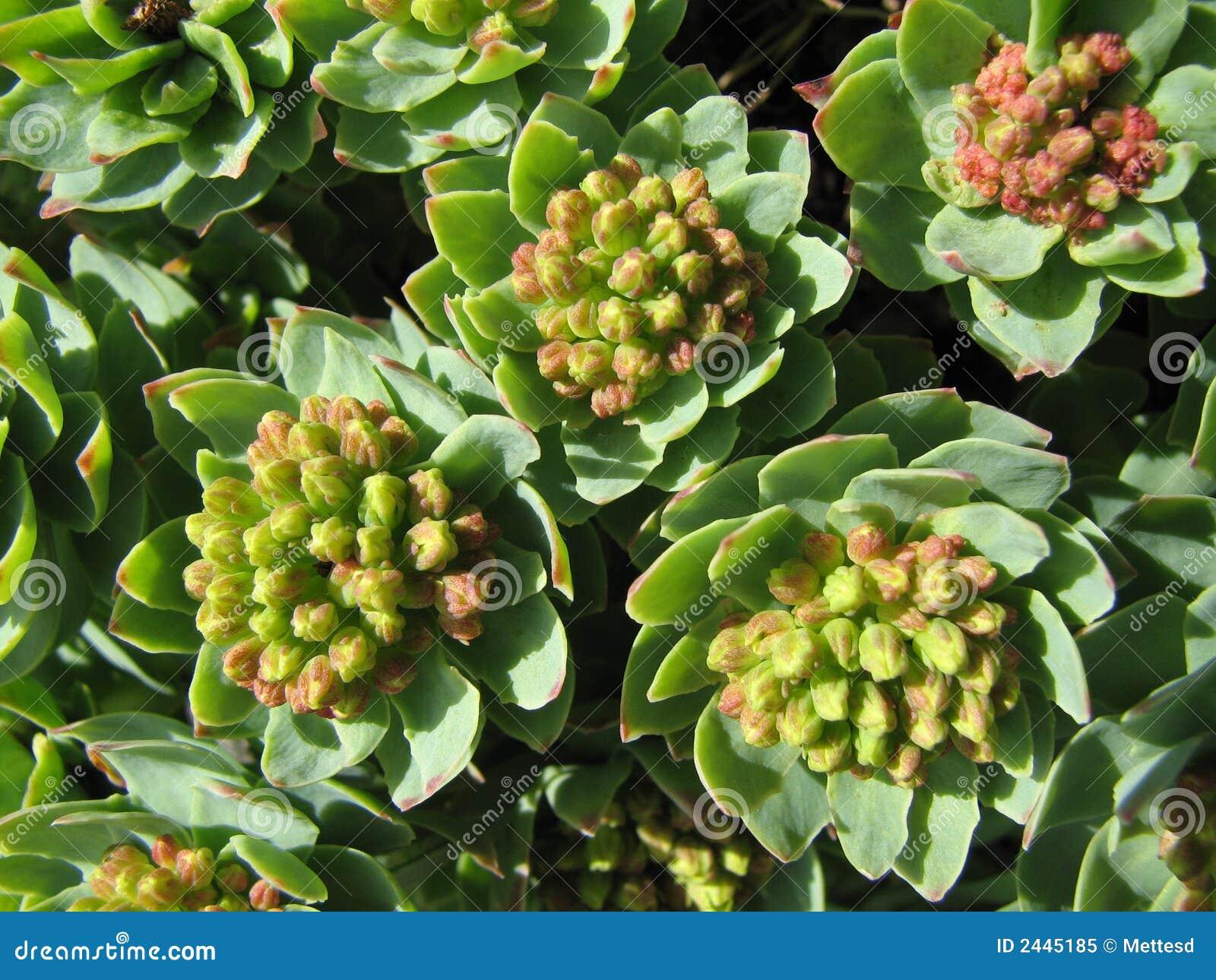 Växt- medicinroseroot