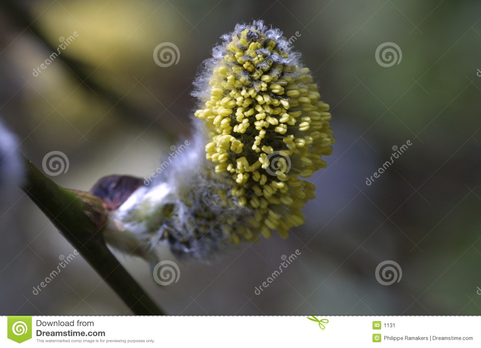 Växtfjäder