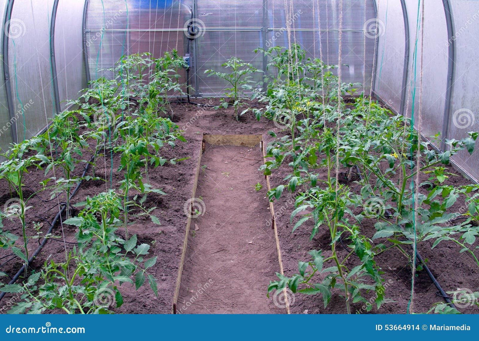 Växthus med tomater