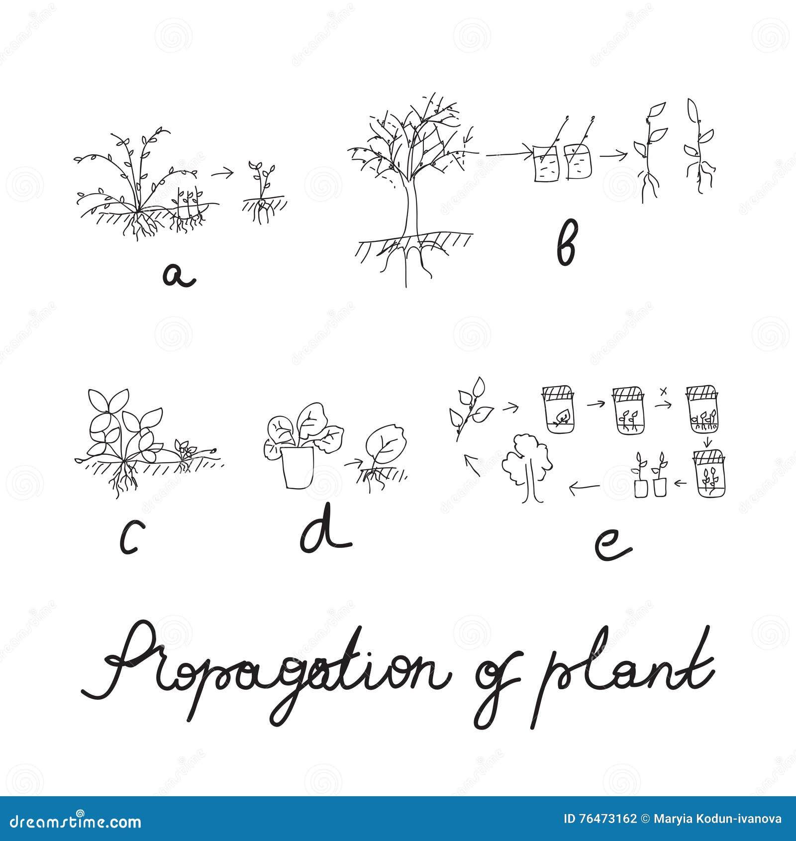 Växtreproduktion eller förökninguppsättning