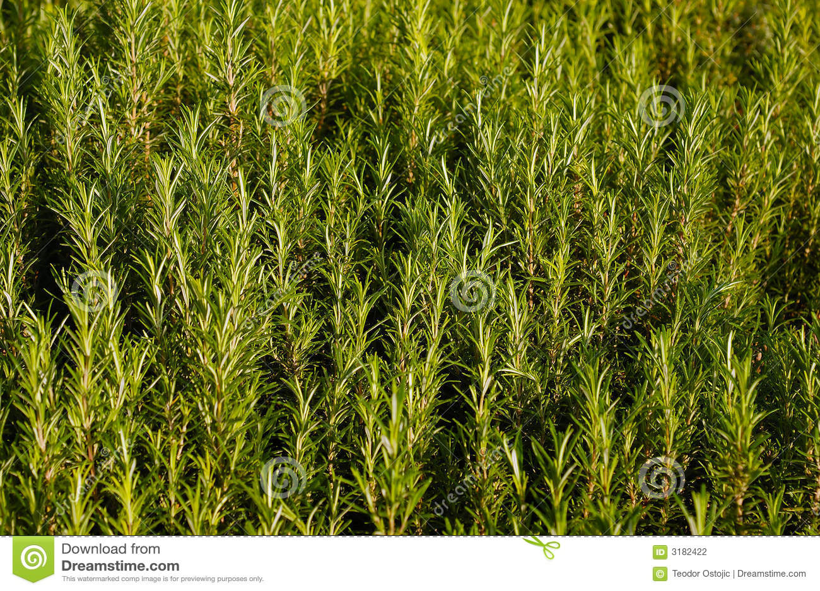 Växtrosmarinar