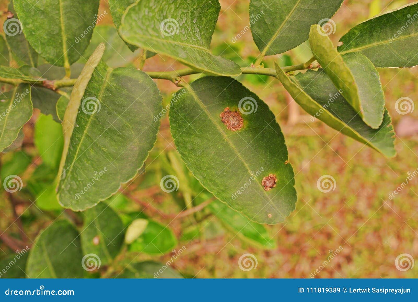 Växtsjukdom, citrus kräfta som hemsökas på limefruktbladet