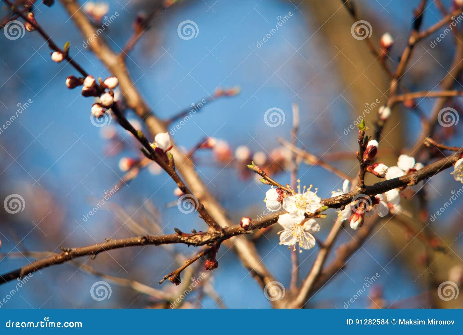 Vår Apple träd i blomning Blommor av äpplet vita blom av att blomstra upp trädslut Härligt våraprikosträd med whi
