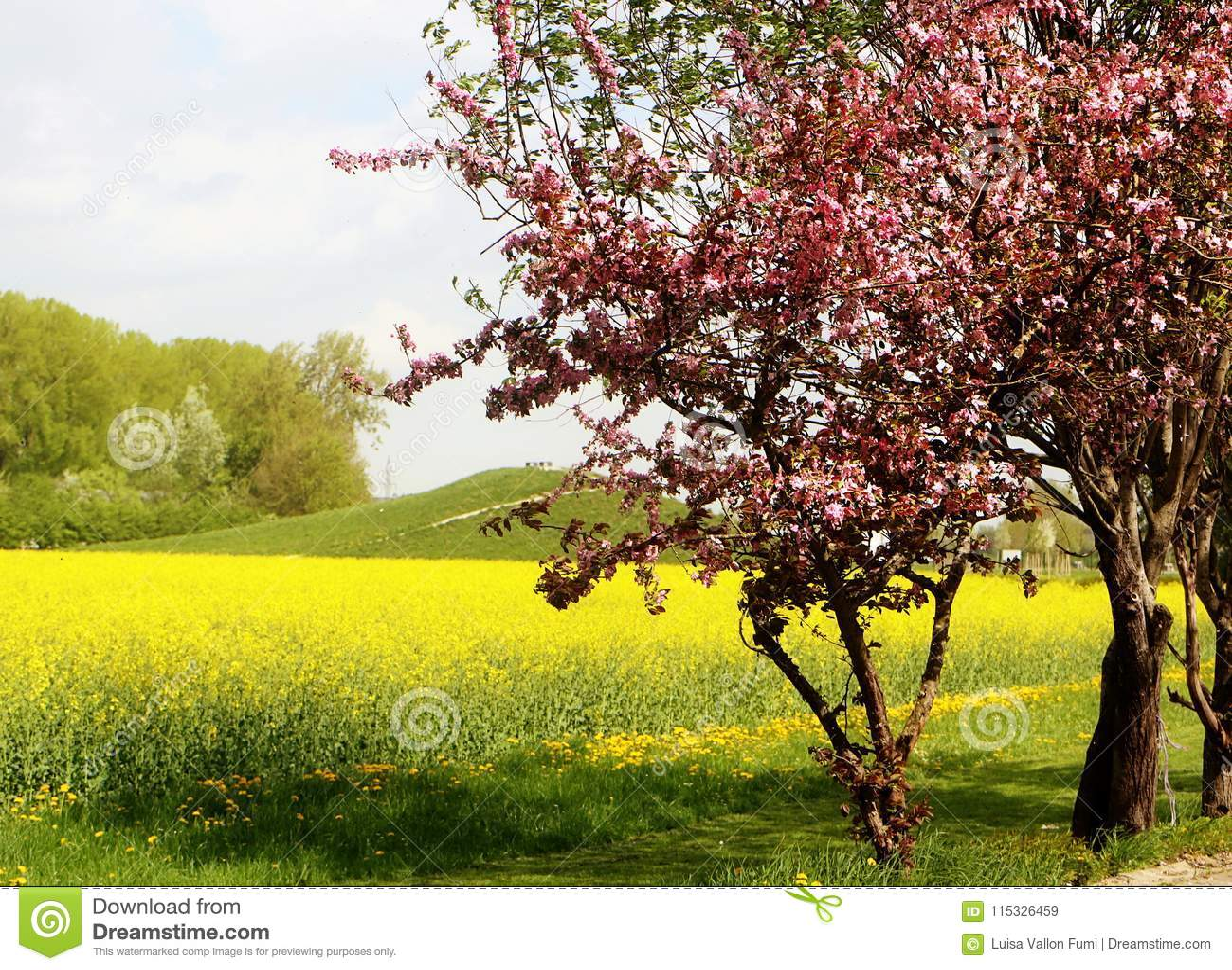 Vår, canolagulingfält och blomningträd