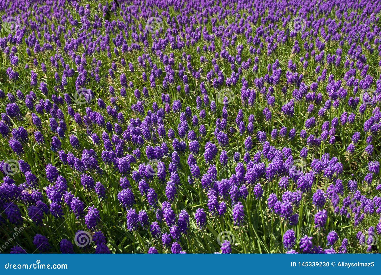 Vår Tid för Istanbul April 2019, purpurfärgat blommafält