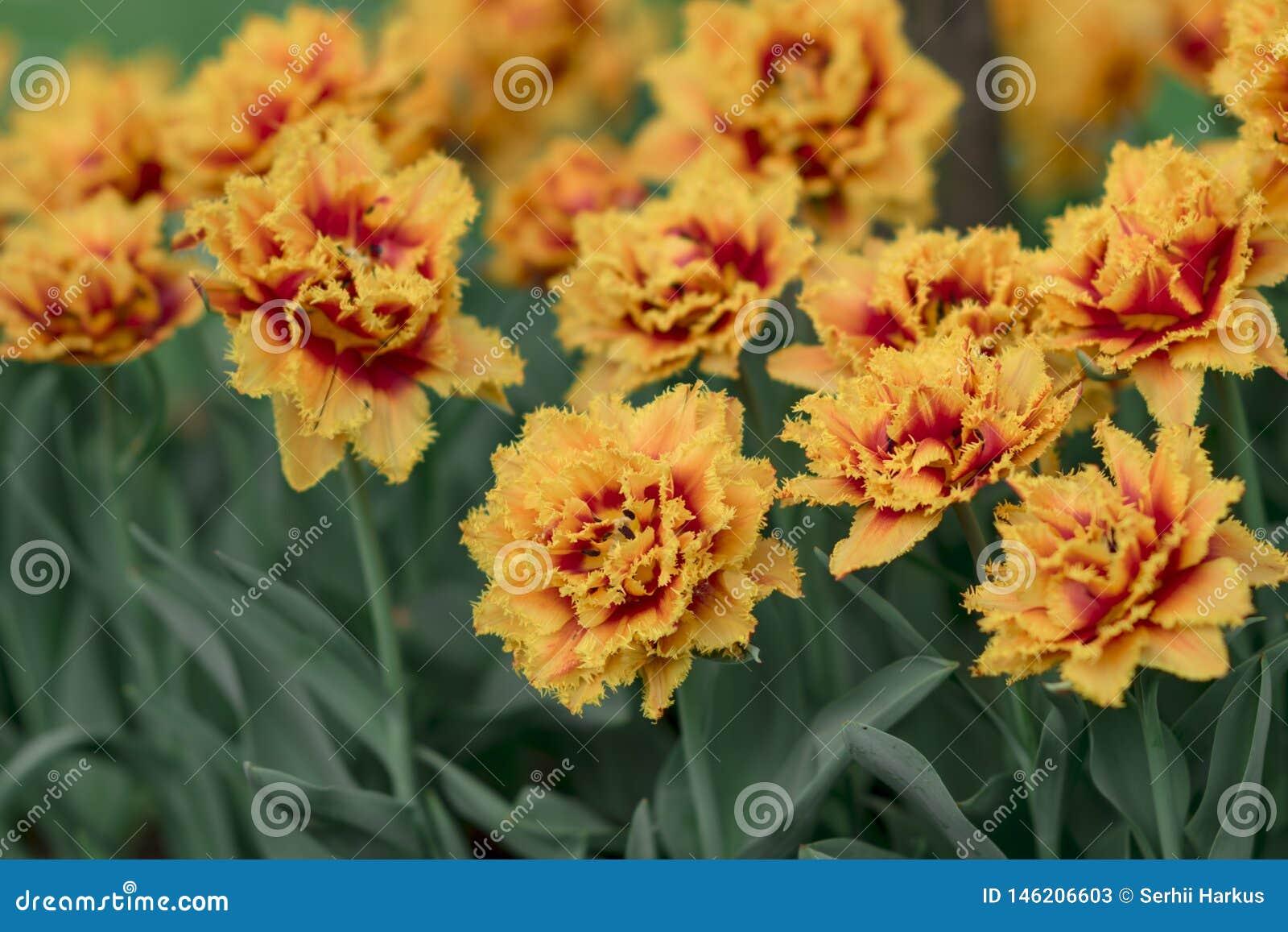 Vårbakgrund med röda gula tulpan