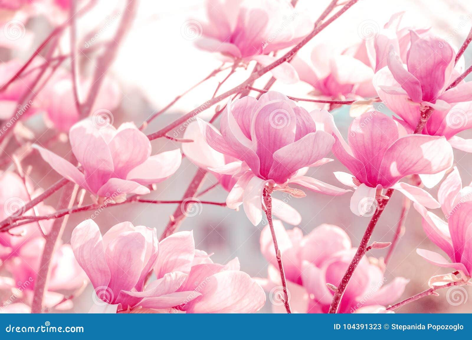 Vårbakgrund med rosa härliga magnolior Blommande magno