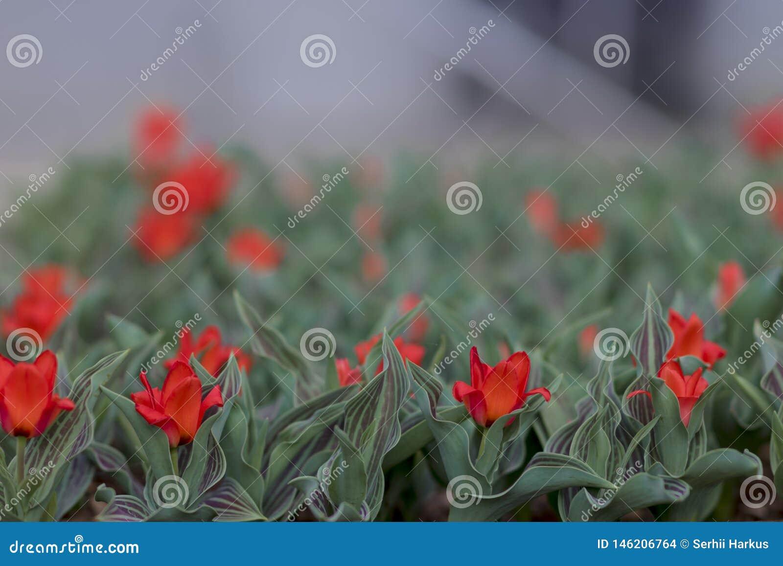 Vårbakgrund med små röda tulpan