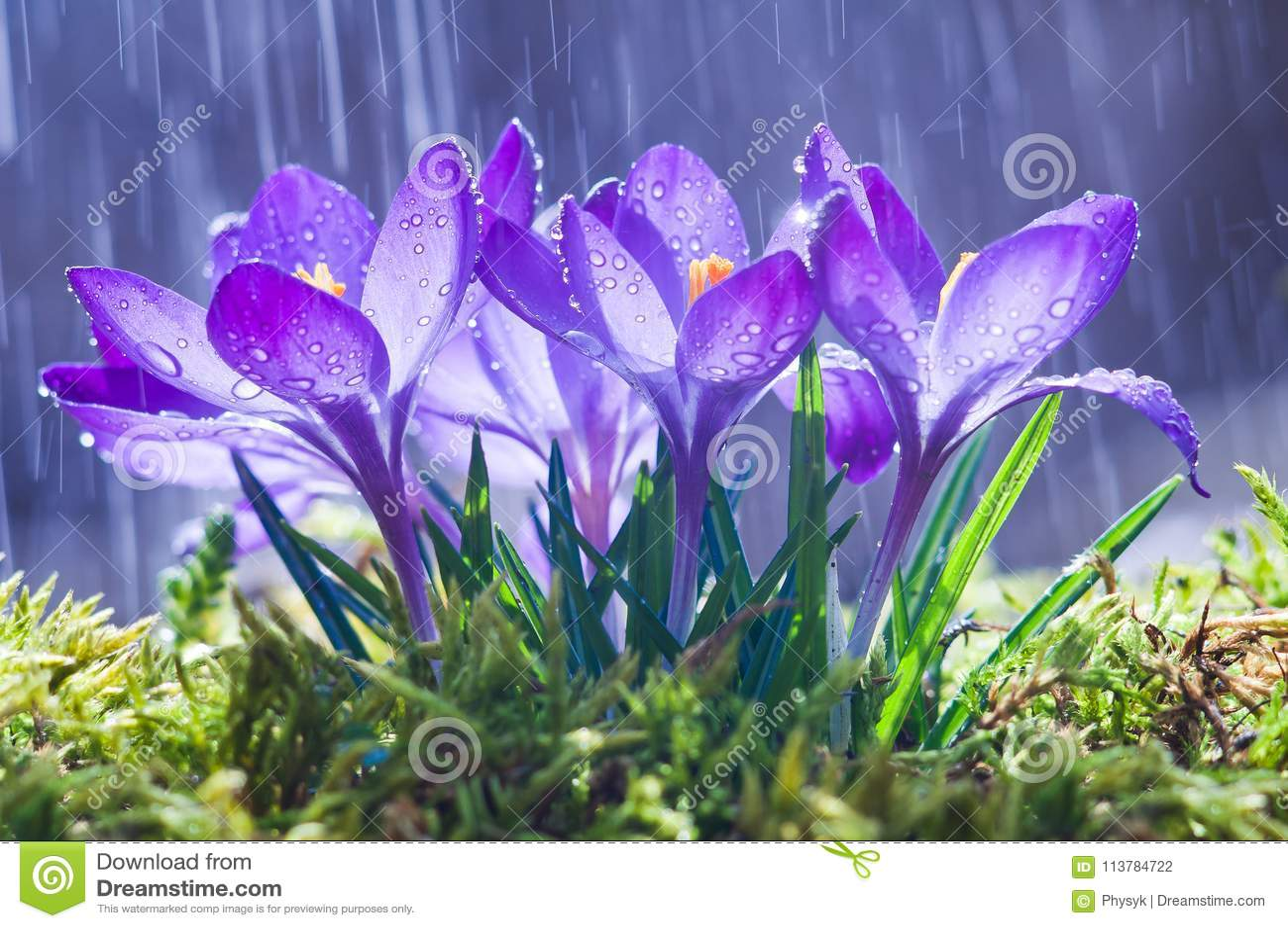 Vårblommor av blåa krokusar i droppar av vatten på backgroen