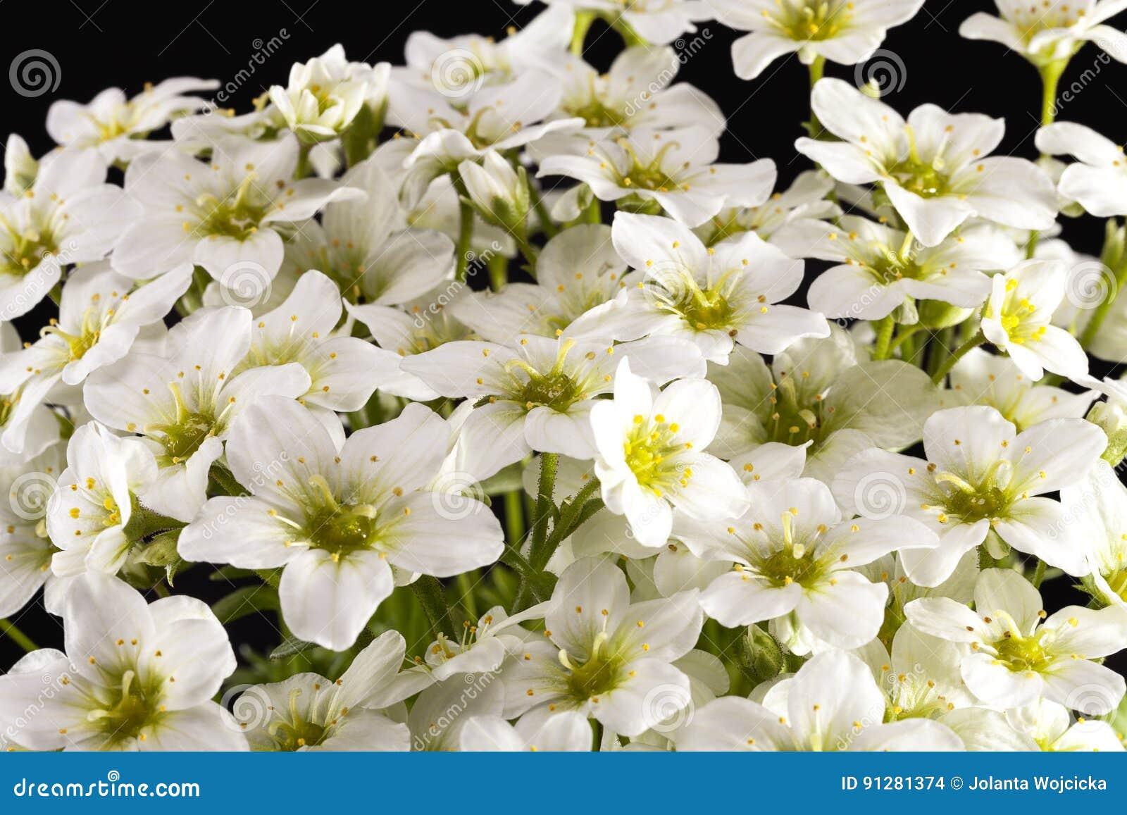 Vårblommor av den vita Saxifragapaniculataen på svart backgroud