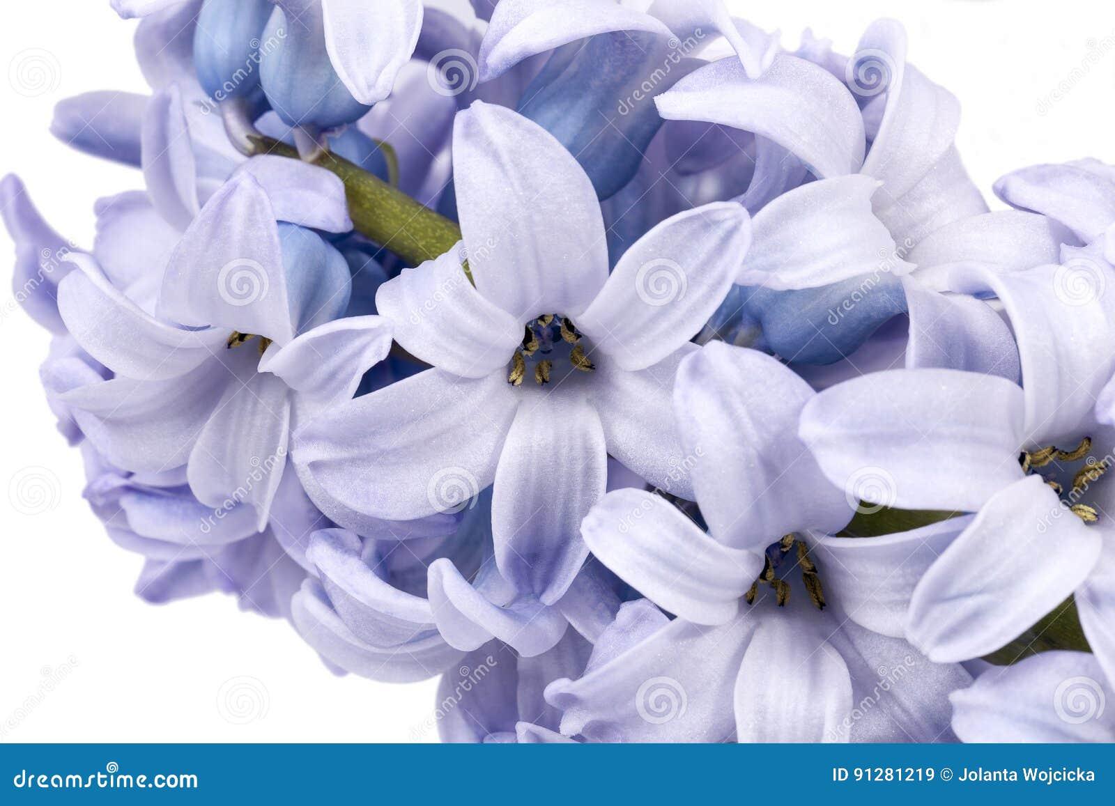 Vårblommor av hyacinten på vit bakgrund, slut upp