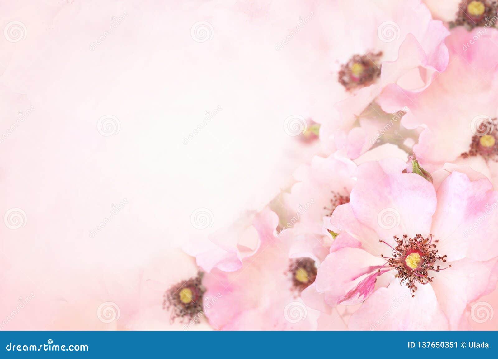 Vårblomningen eller att blomstra för sommar steg nyponet som tonades, kortet det bakgrund för bokehblomma pastellfärgad och mjuk