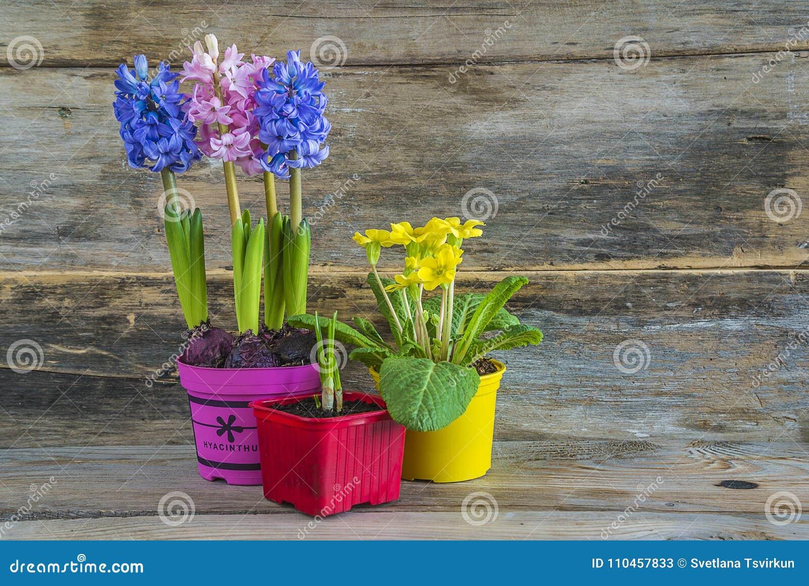 Våren blommar i mångfärgade krukor