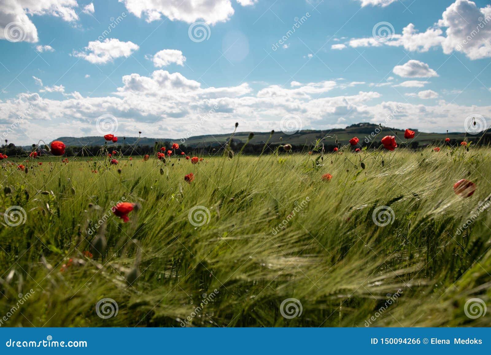 Vårgräsplanfält av råg, grova spikar med ljusa röda vallmoblommor mot den blåa himlen med frodiga vita moln solig dag