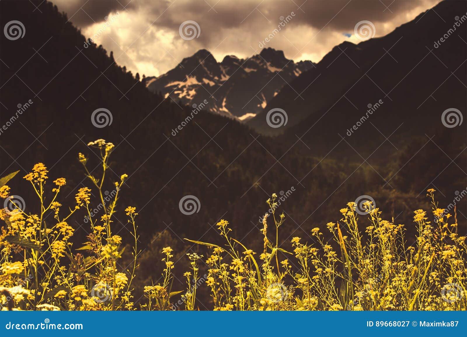 Vårguling blommar mot bakgrunden av hög Caucasian M