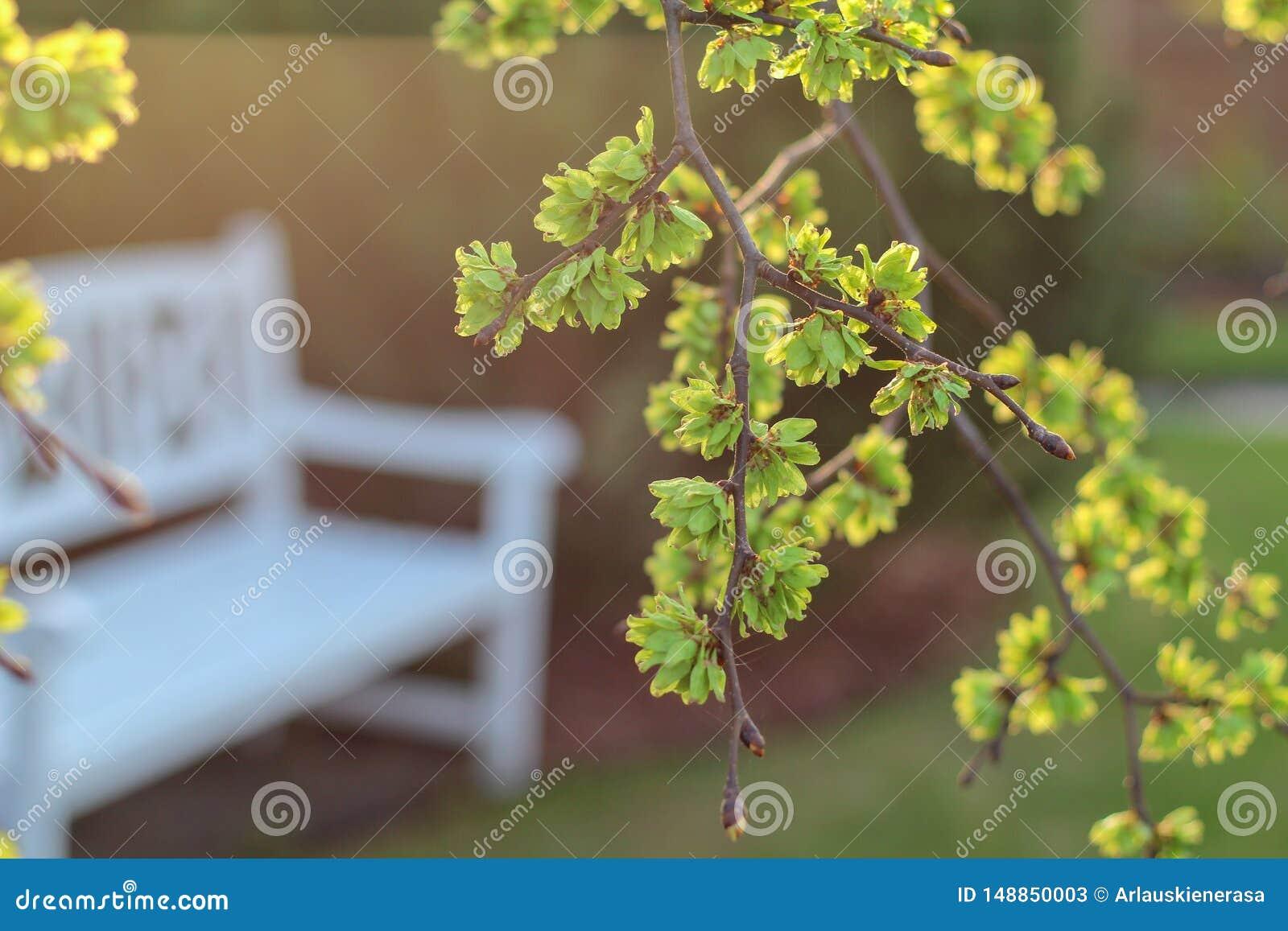 Vårsikt i en trädgård med en vit bänk under ett blommande almträd