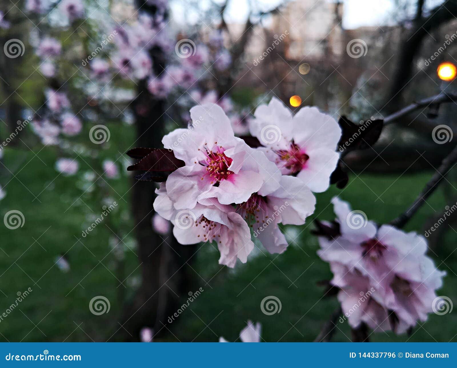 Vårtid - filialer med rosa blommor