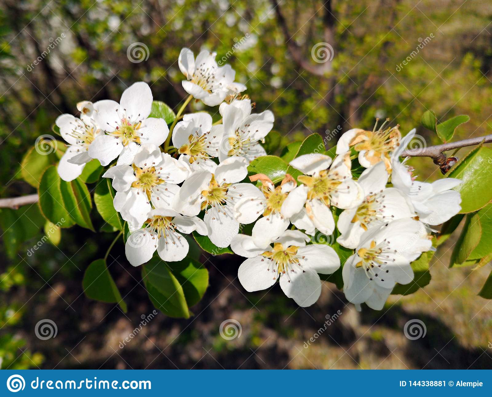 Vårtid - filialer med vita blommor