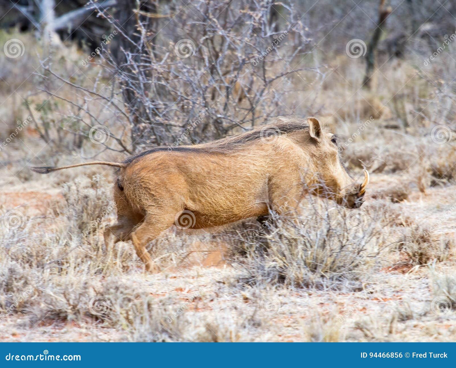 Vårtsvin som fotograferas i den Mokala nationalparken nära Kimberly, Sydafrika