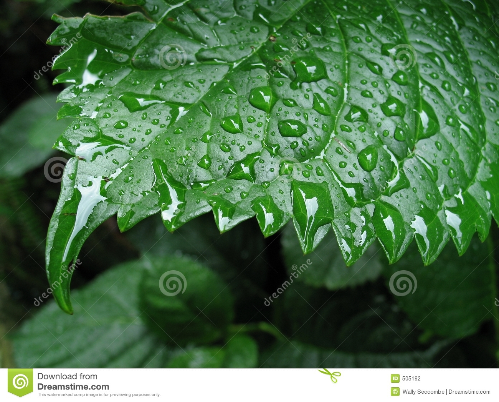 Våt leaf 2