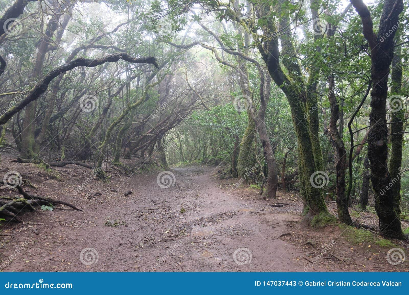 Våt och lerig skog i Anaga, Tenerife SPANIEN