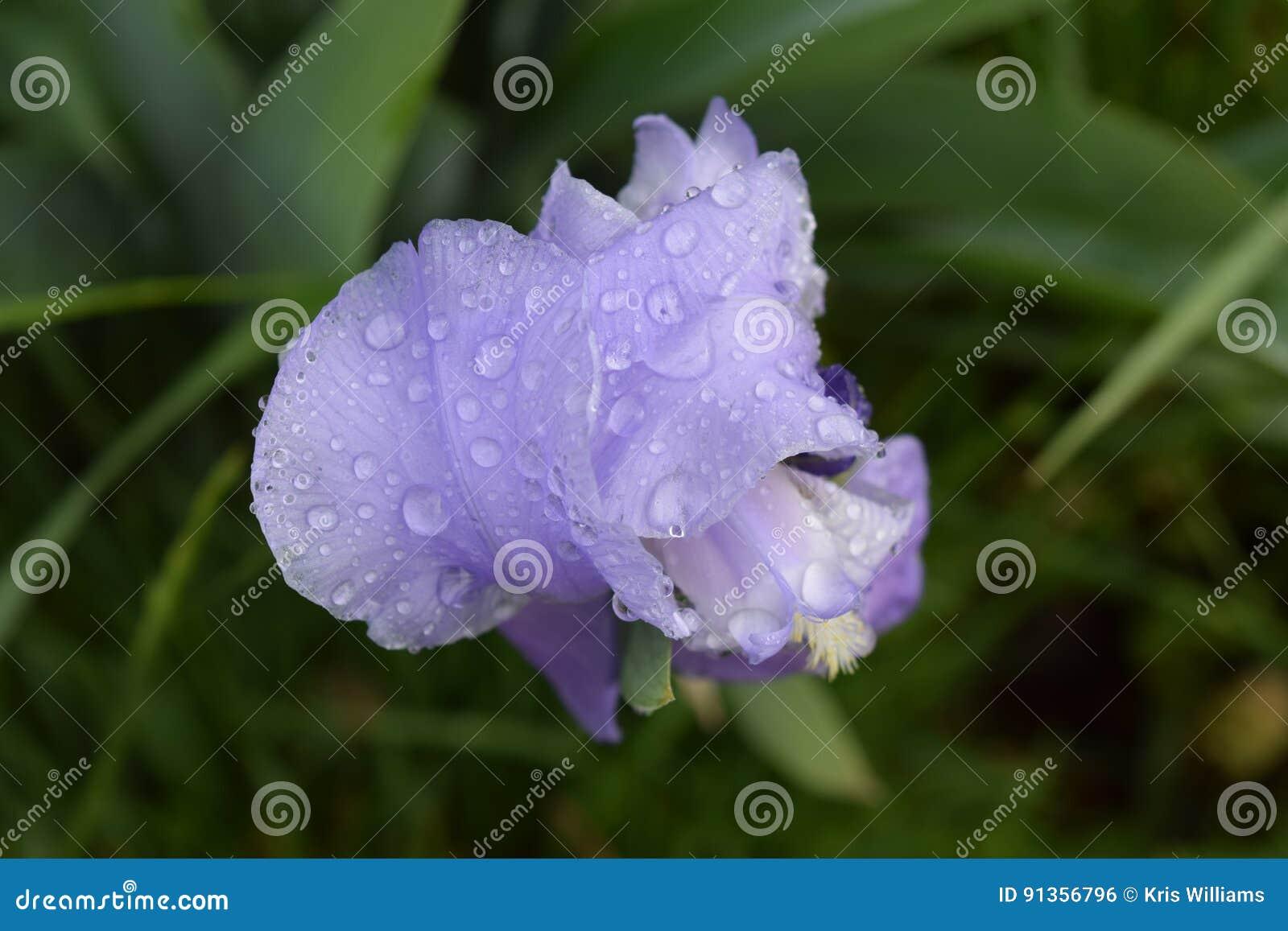 Våt purpurfärgad iris