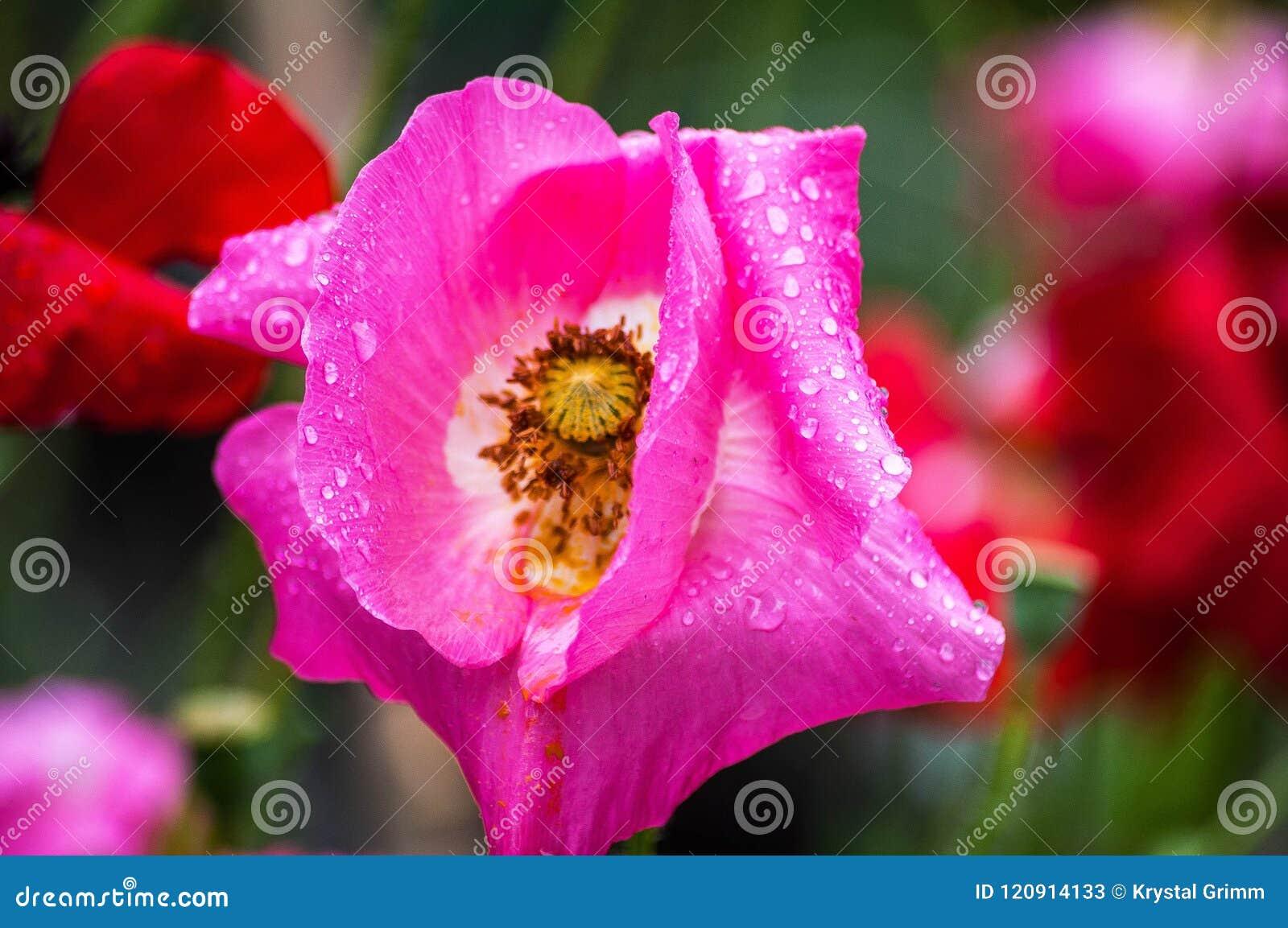 Våt rosa vallmo