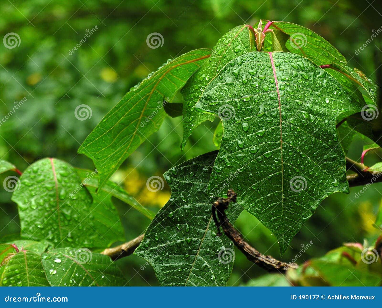 Våta leaves