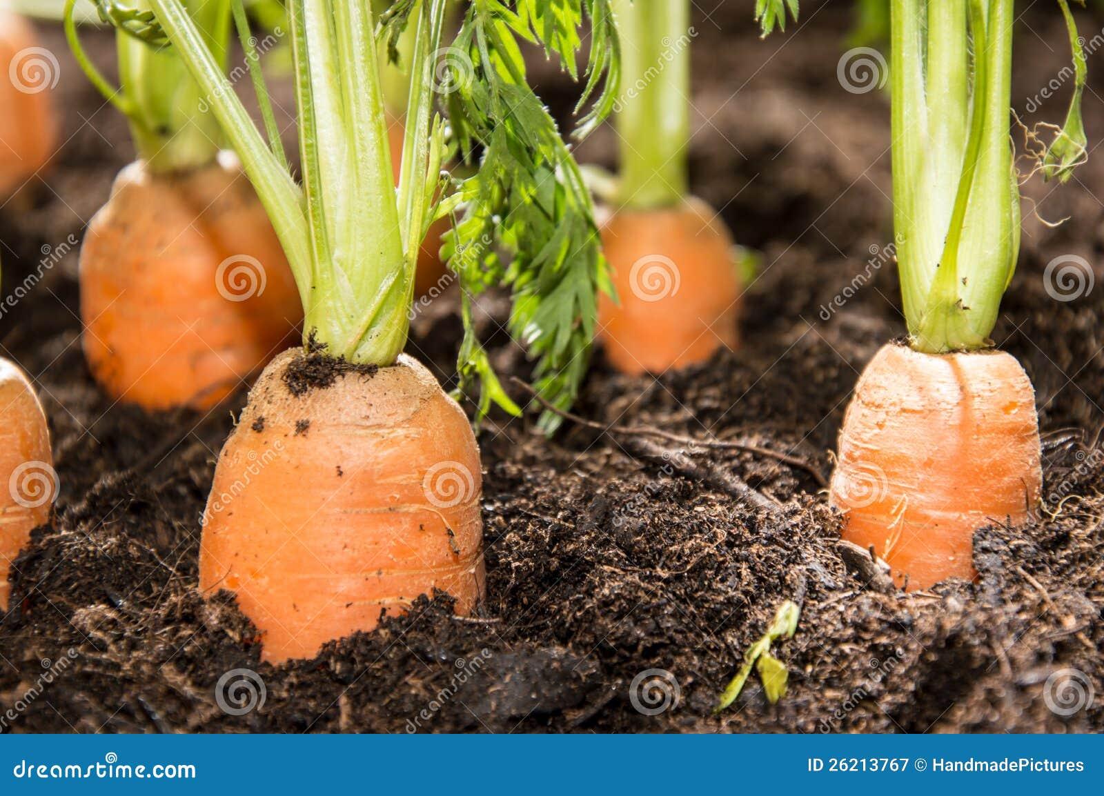 Våta morötter i smutsen