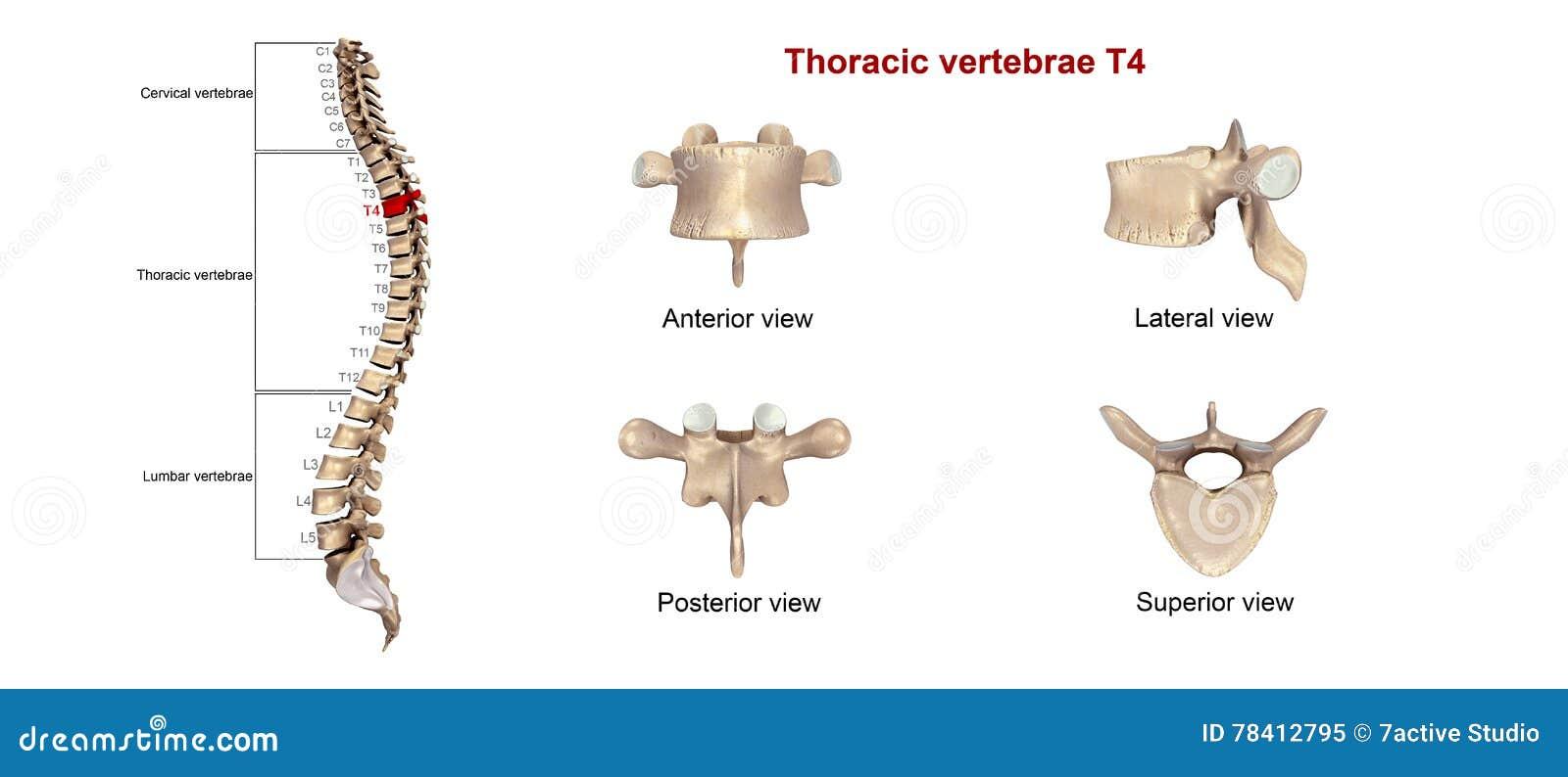 Perfecto Número De Vértebras Torácicas Colección - Imágenes de ...