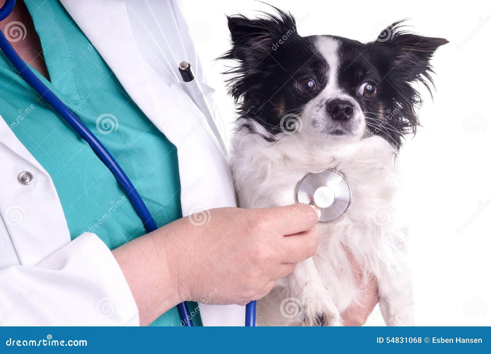 Vétérinaire et chien, chiwawa