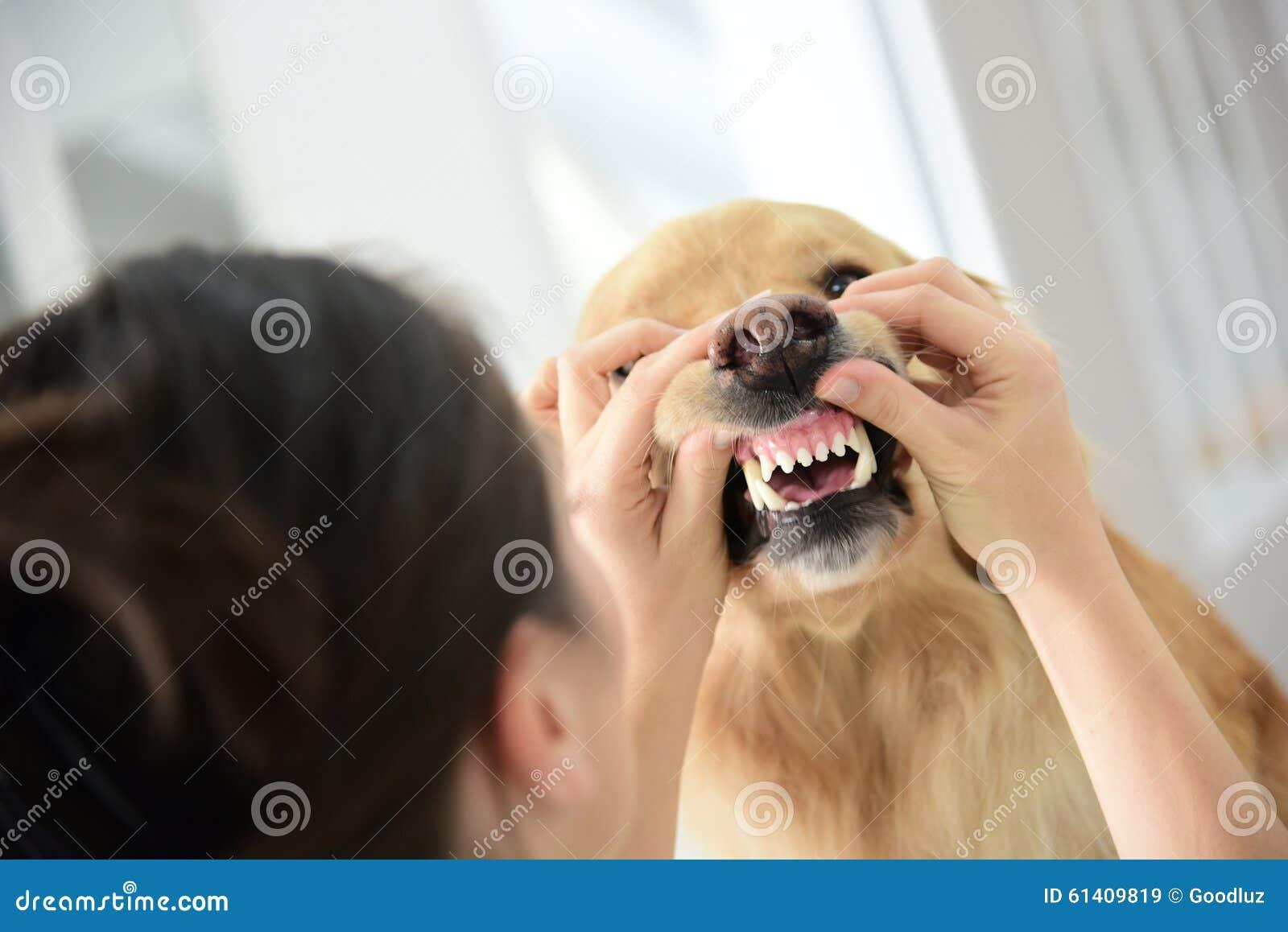 Vétérinaire vérifiant les dents de chien
