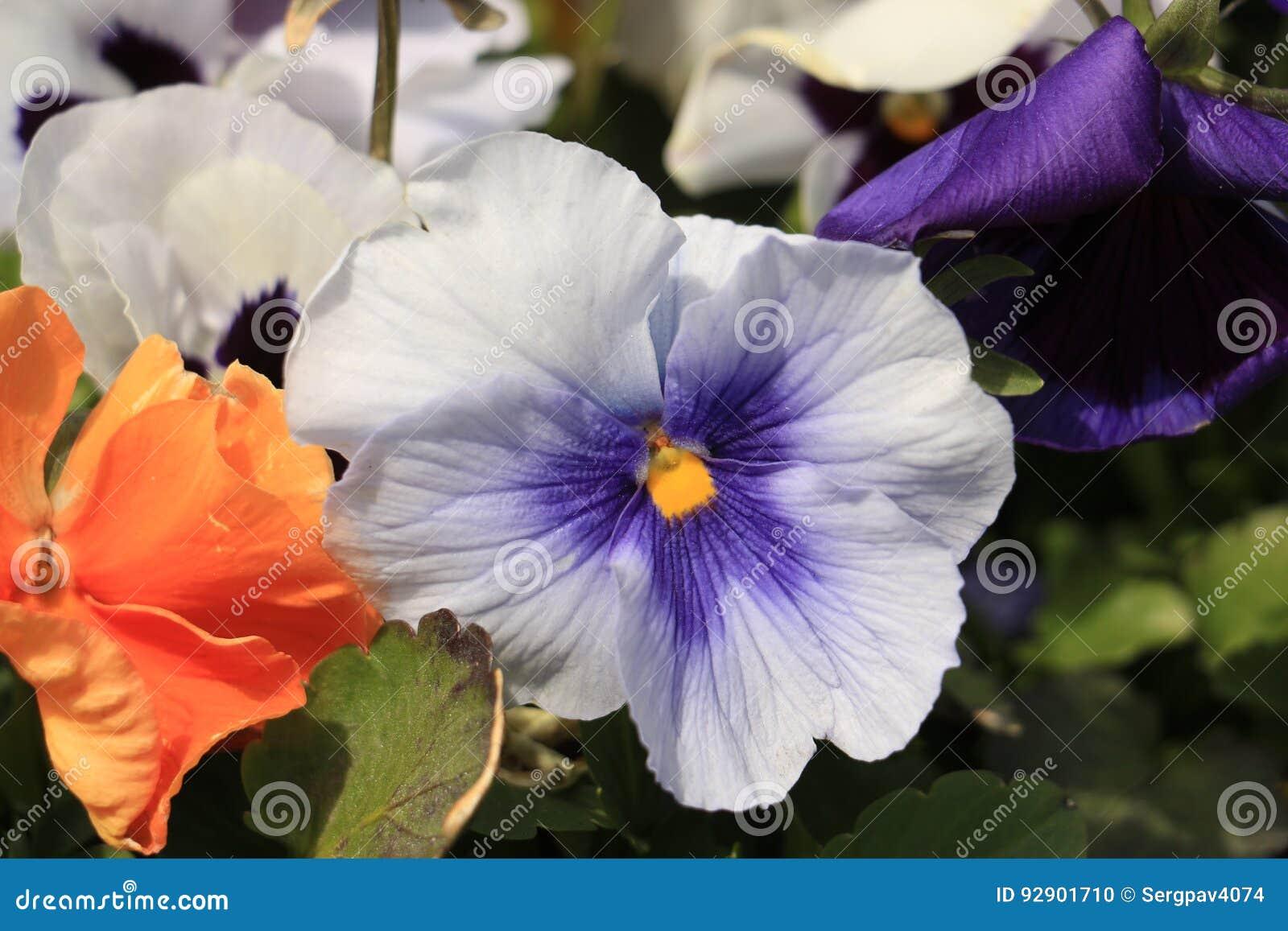 Víola trícolor