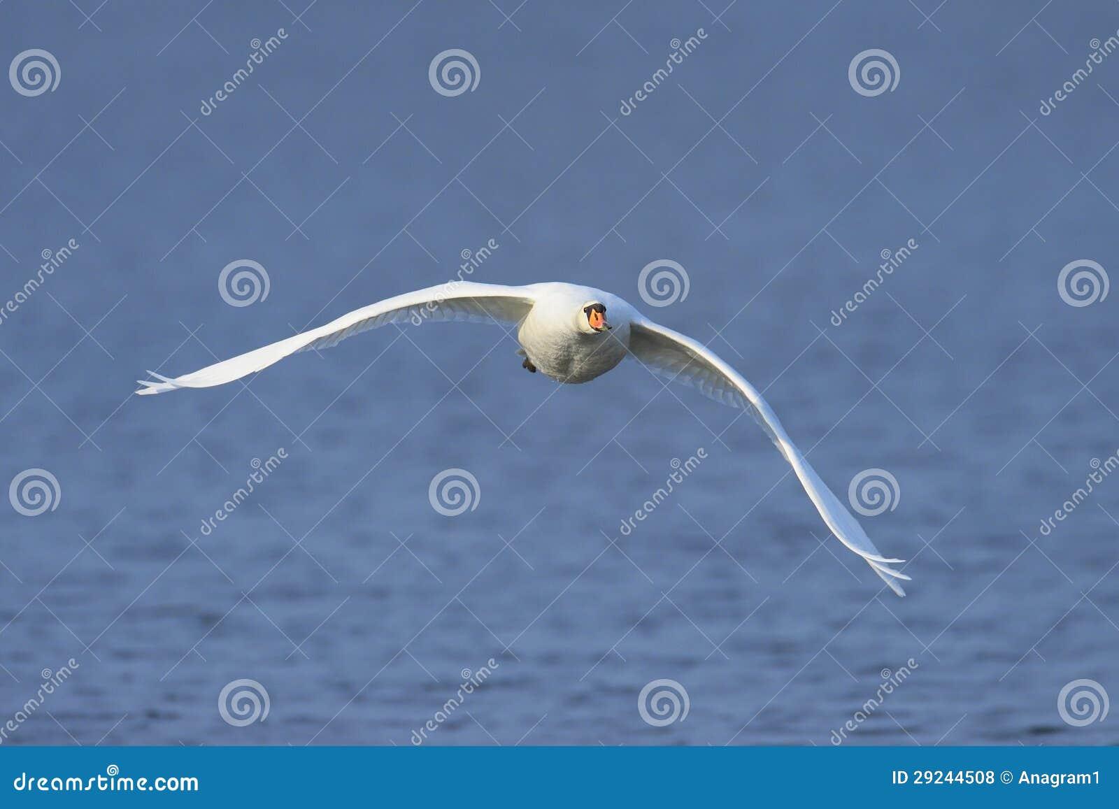 Download Vôo da cisne muda foto de stock. Imagem de propagação - 29244508