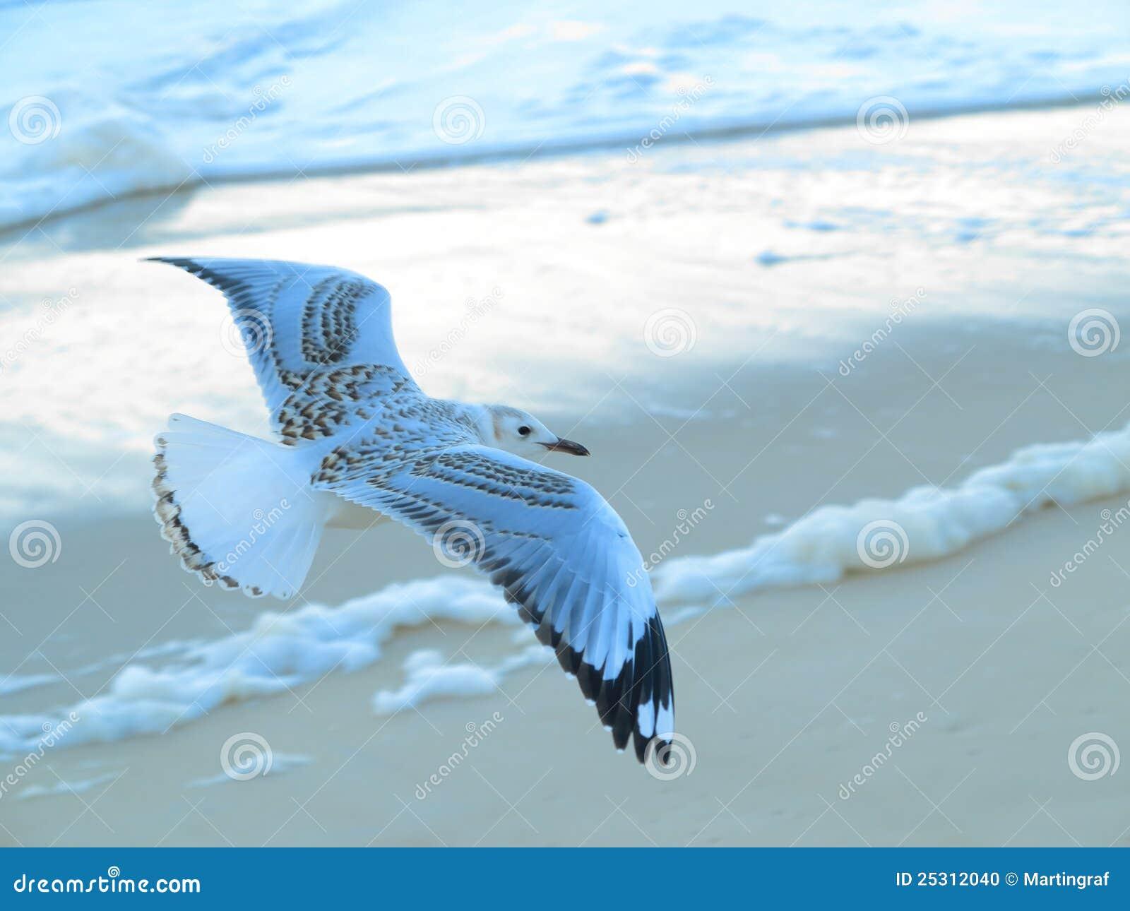 Vôo da gaivota sobre a praia