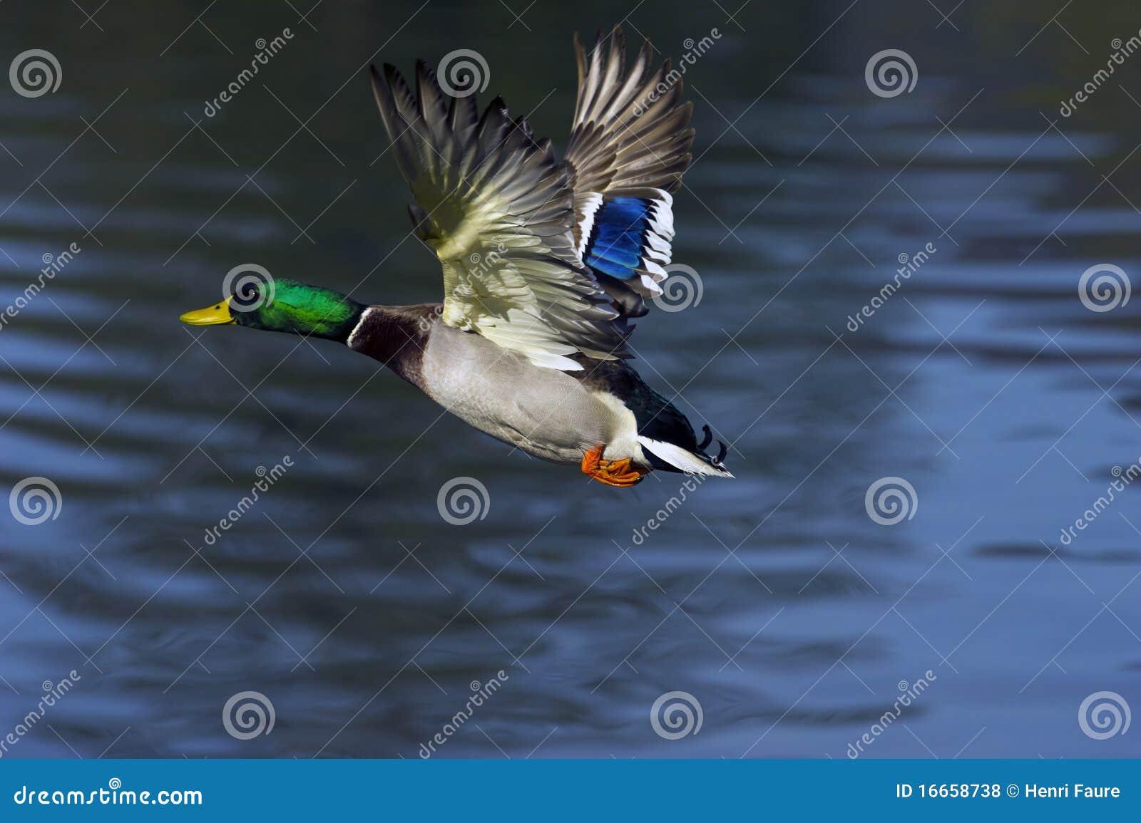 Vôo do pato selvagem