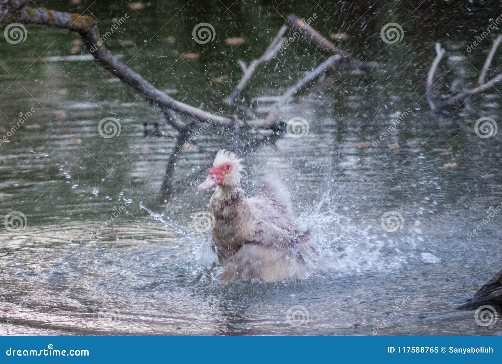 Vögel und Tiere in den wild lebenden Tieren Erstaunliche Nahaufnahmeansicht der Ente auf Stein unter Sonnenlicht