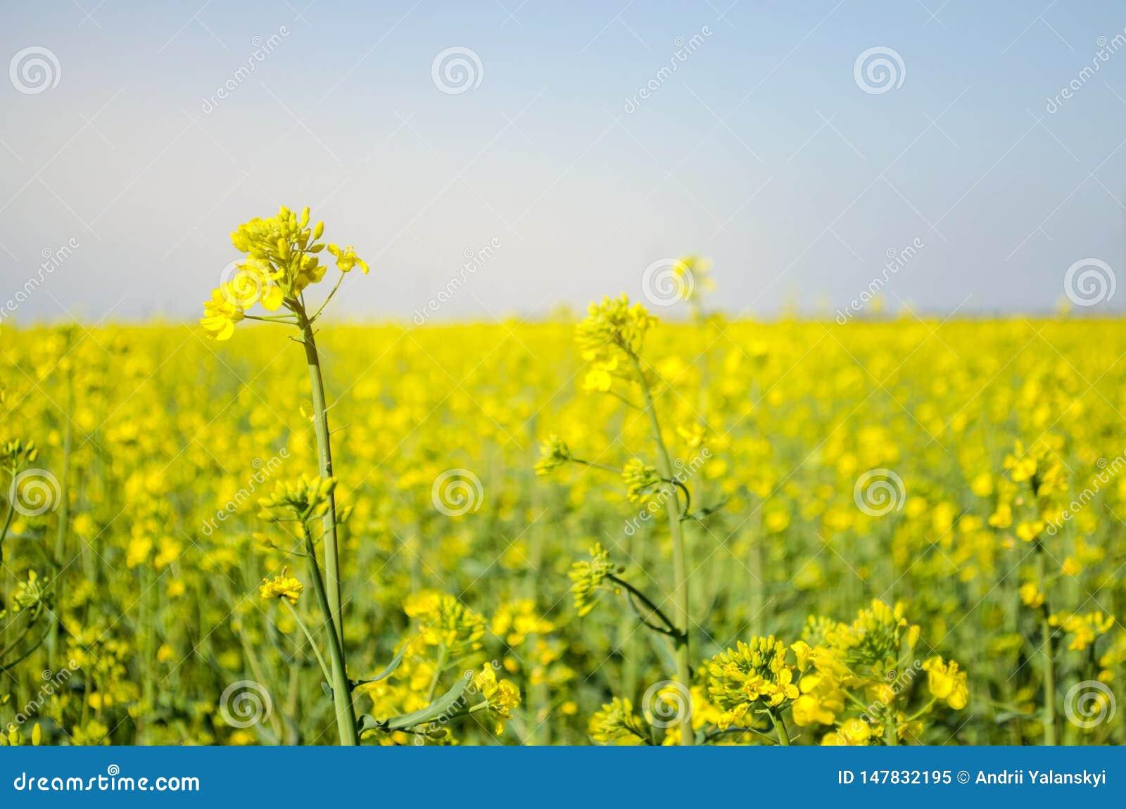 V?ldta Rapsfröfält under blomning Blomk?l, kinak?l och k?l p? tr?sk?rbr?da Oljefrökultur Jordbruk lantbruk