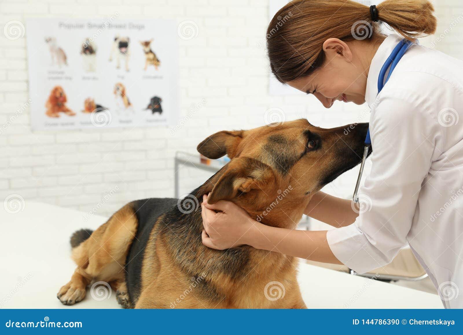 V?t?rinaire professionnel examinant le chien de berger allemand