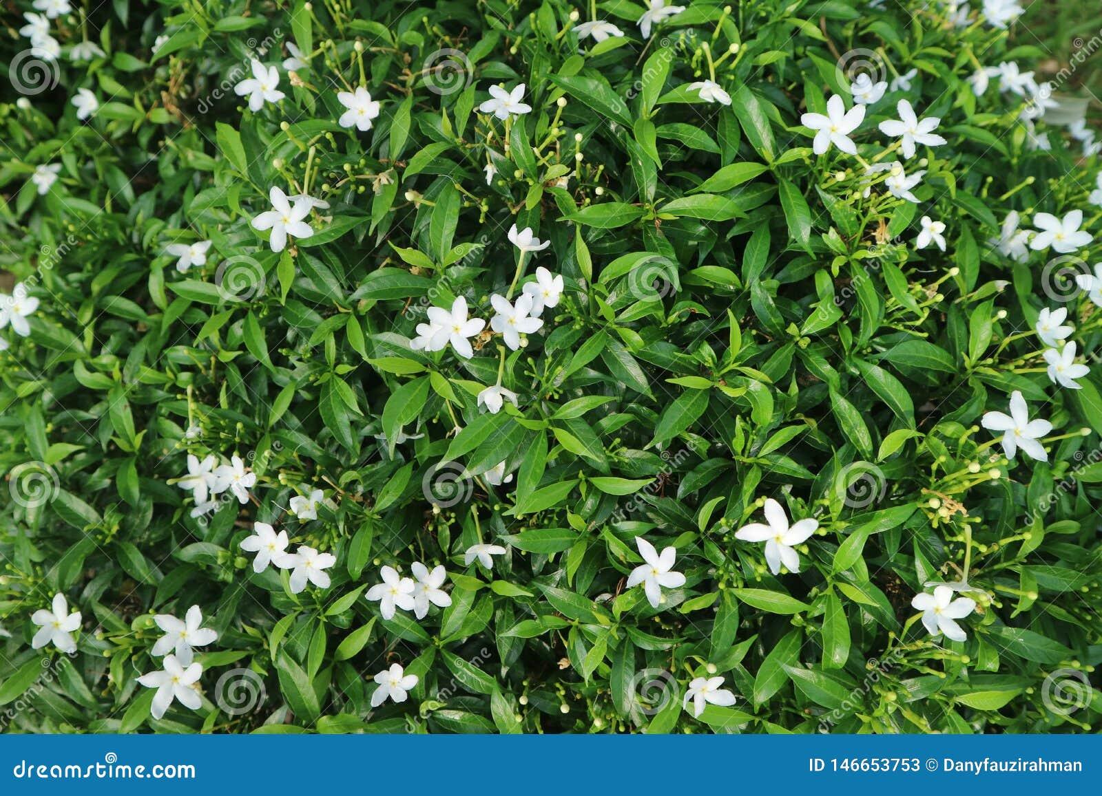 V?xter i gr?splan f?r vit blomma f?r tr?dg?rd s?