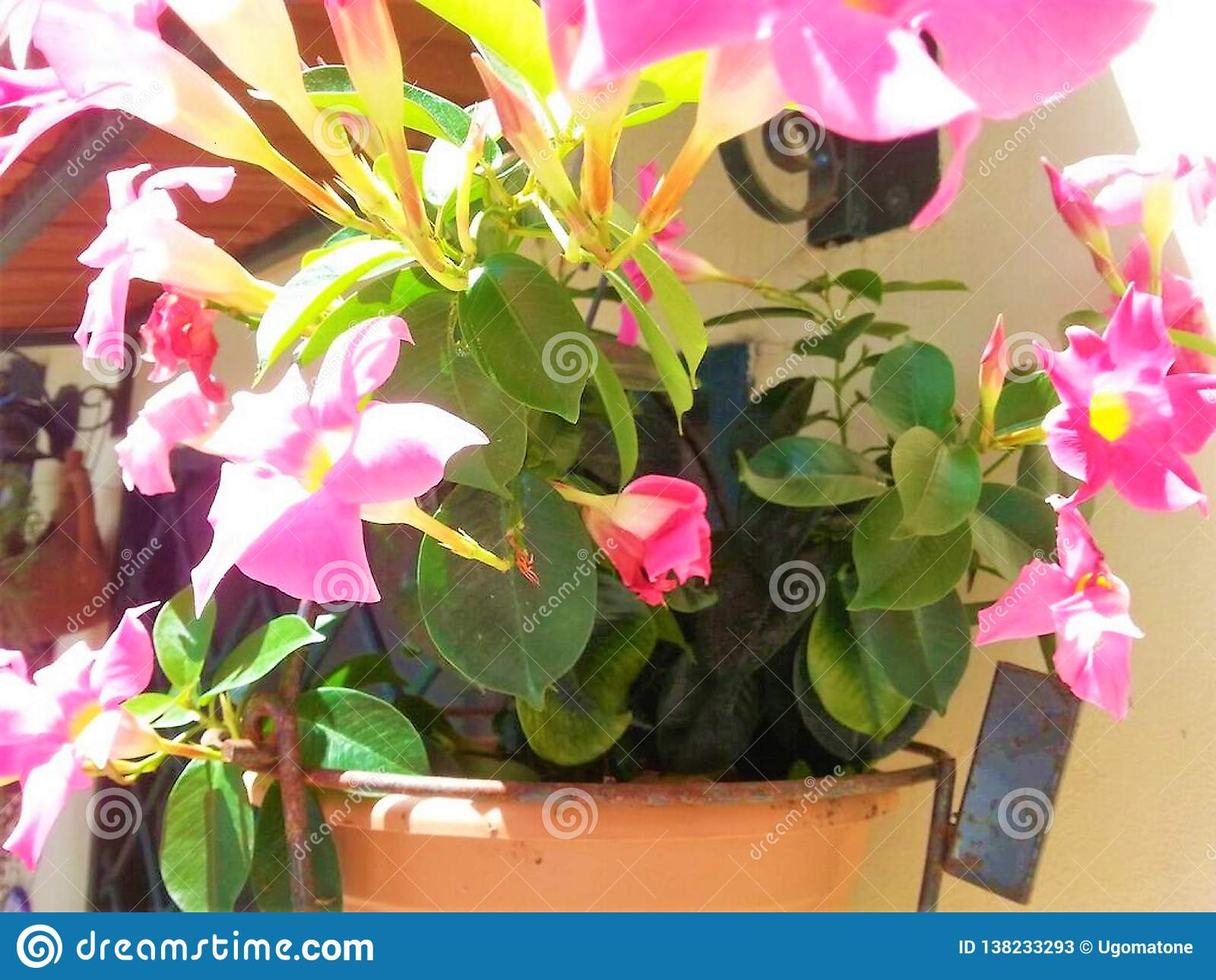 Vaas met Mandevilla-bloemen