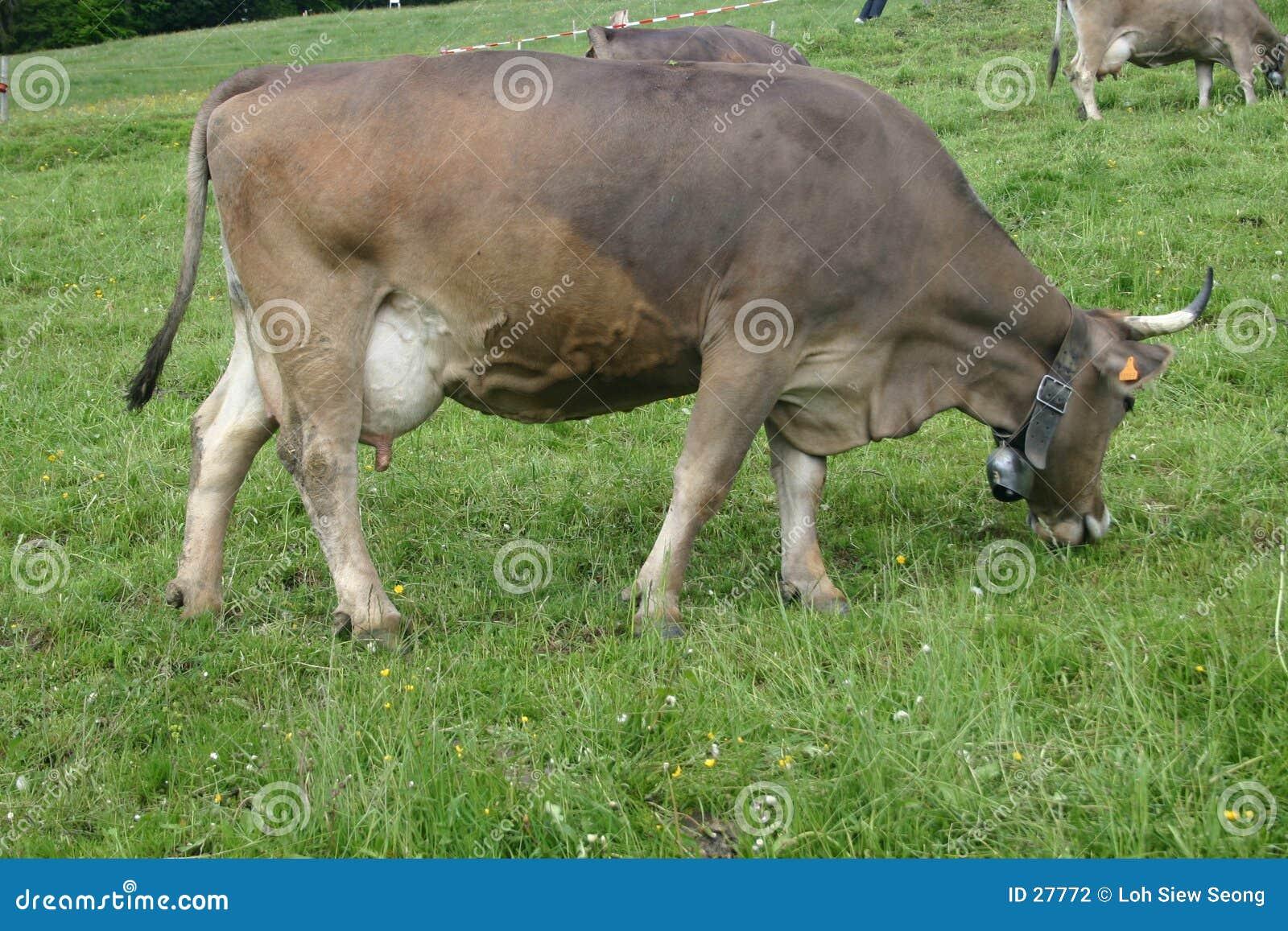 Download Vaca foto de archivo. Imagen de hierba, vaca, alarma, suizo - 27772