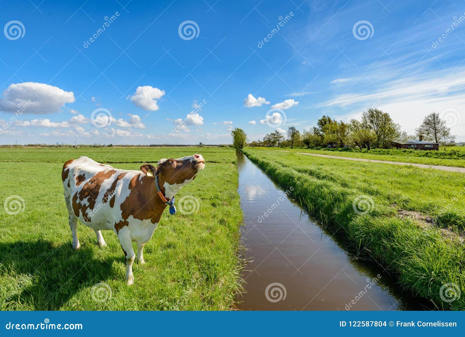 Vaca ao lado de uma vala no po lder perto de Rotterdam, Países Baixos