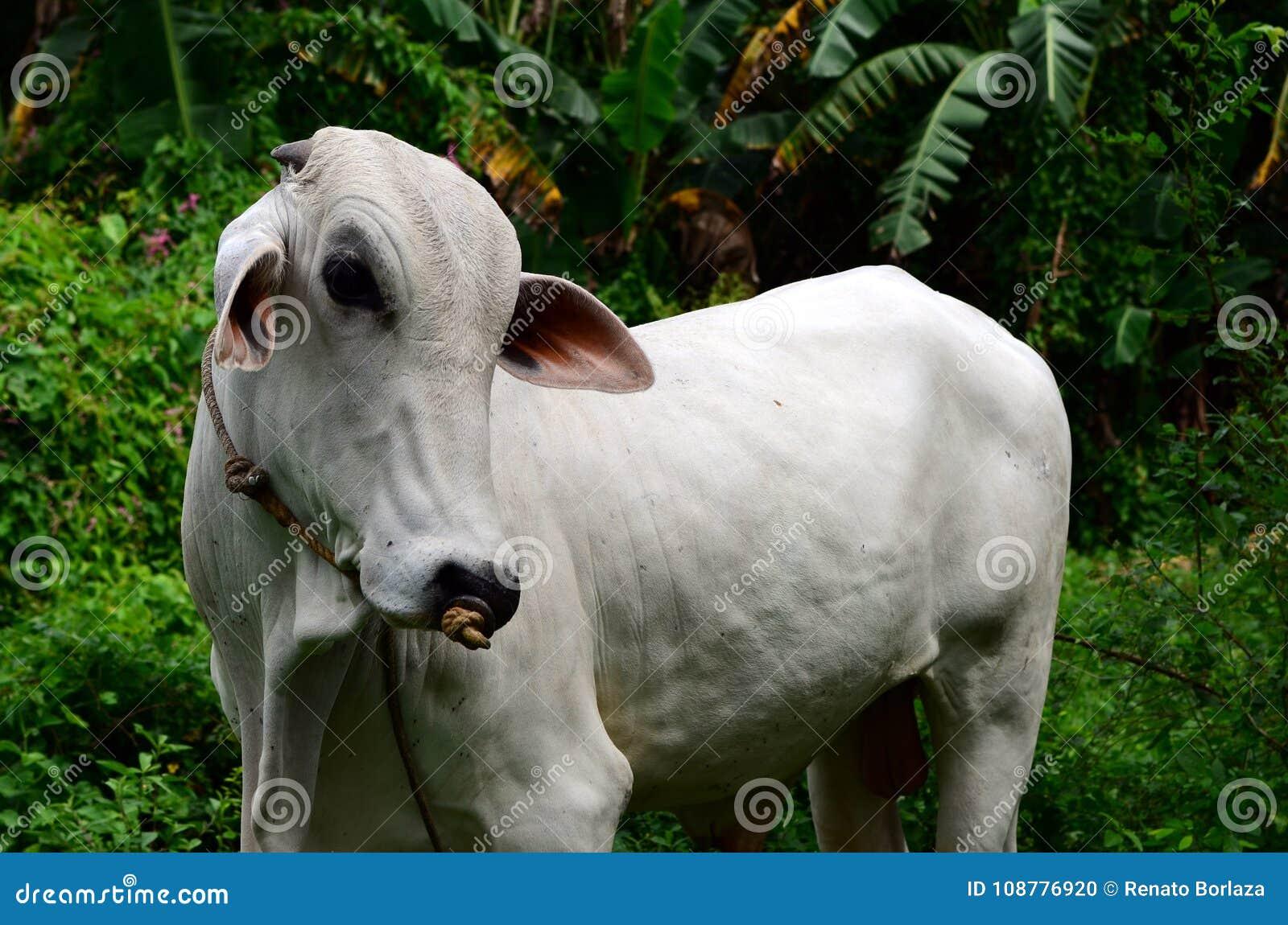 Vaca branca do brahman que descansa no campo gramíneo