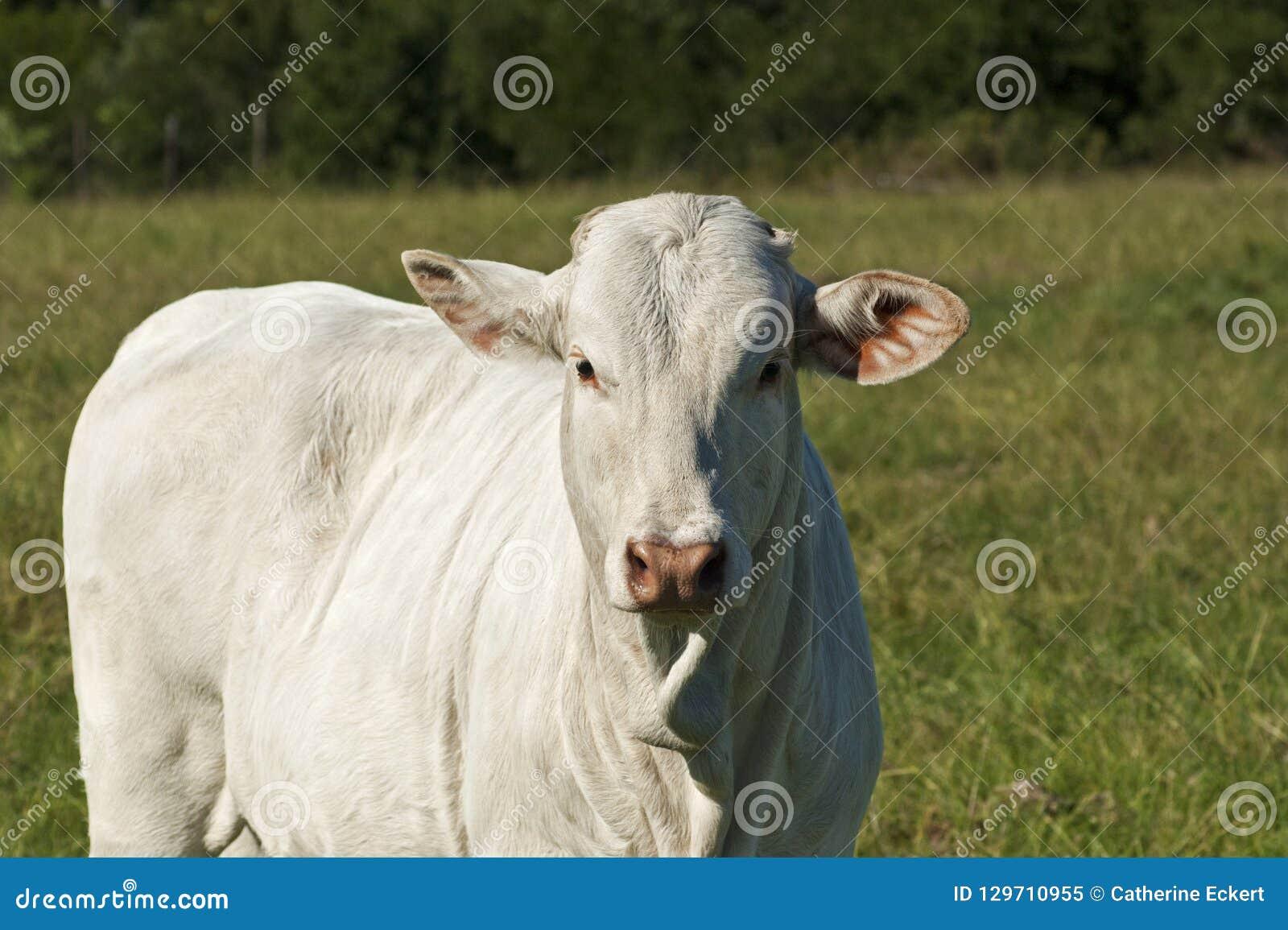 Vaca branca nova da raça do brâmane