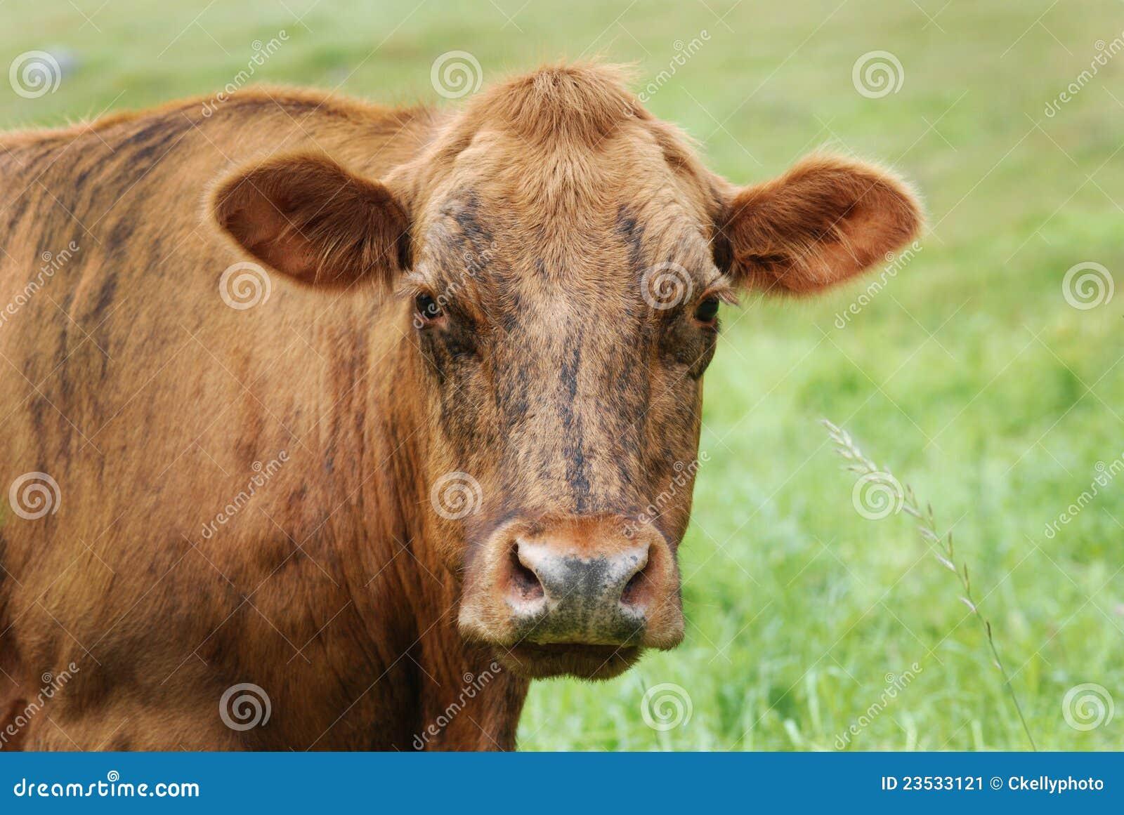 Vaca brindle-colorida fêmea no campo